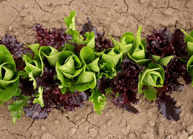 Salad days: the complete guide to lettuce leaves