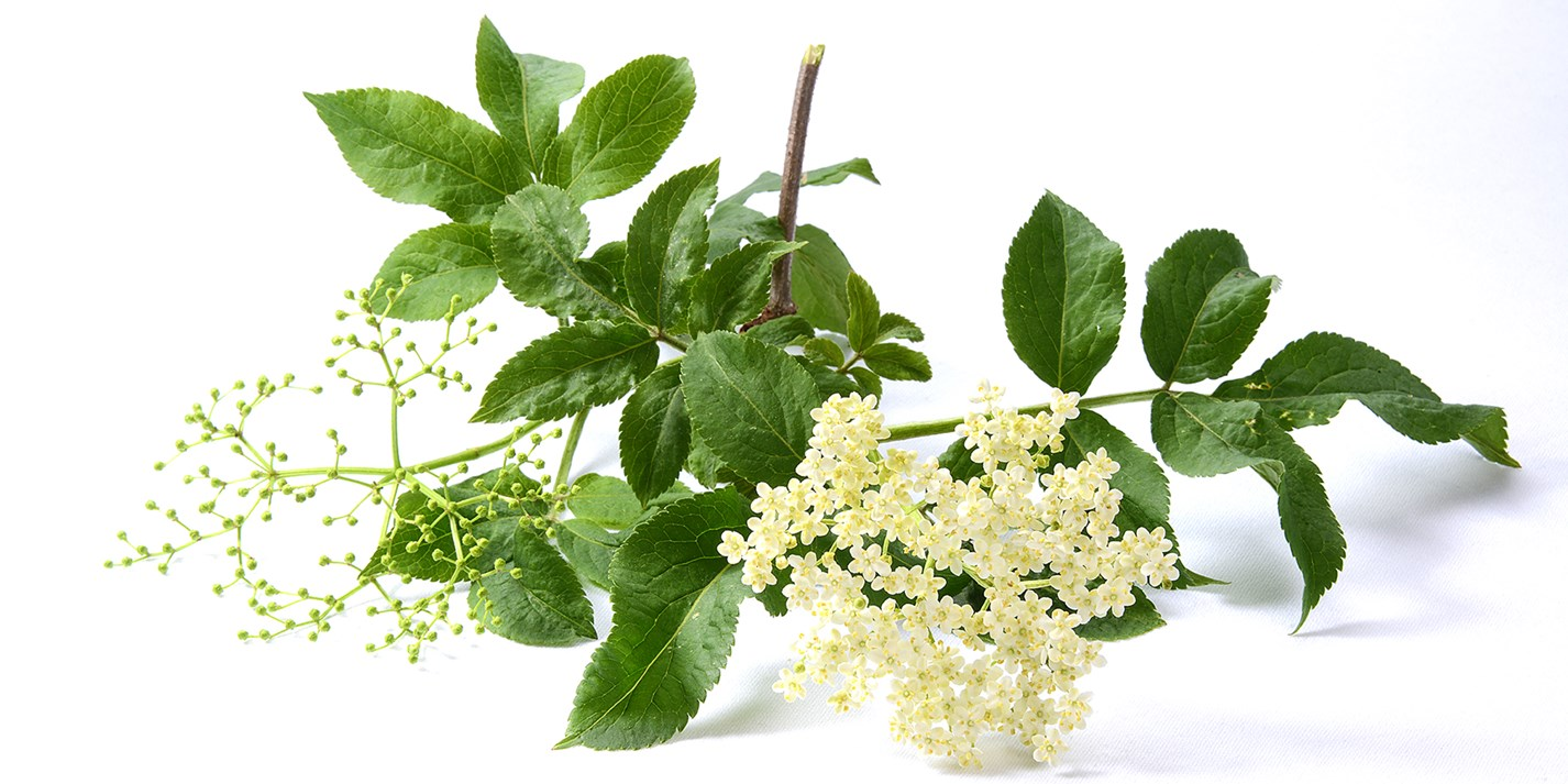 A day elderflower foraging
