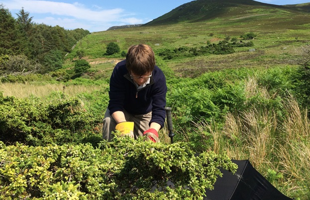 Chris Garden collecting juniper on the moors of Hepple.