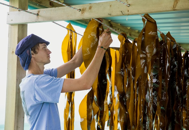 In pictures: the Cornish seaweed harvest
