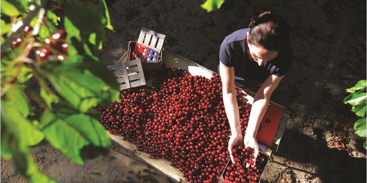 Picota cherries: the red diamonds of Spain