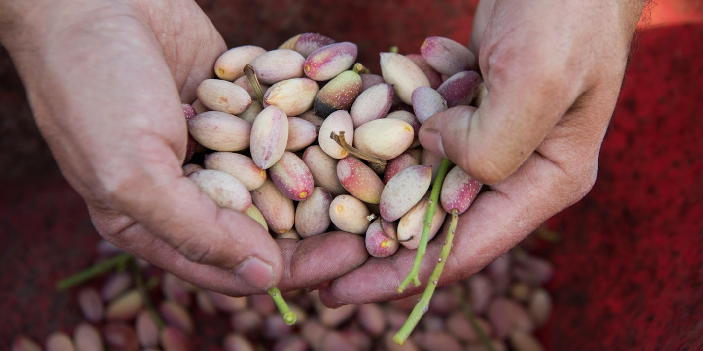 Green gold: Bronte's pistachio harvest in pictures