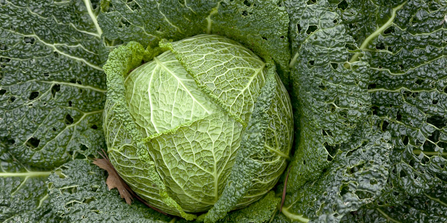 Savoy Cabbage Recipes Great British Chefs