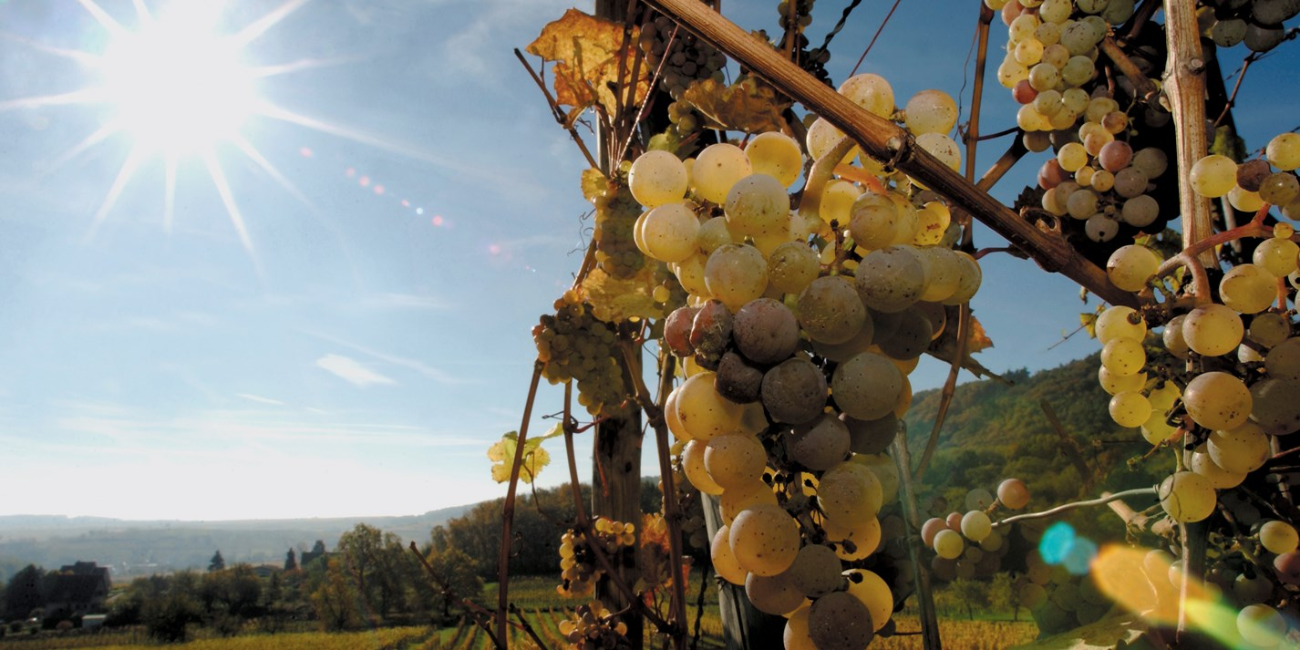 Alsace wine: a beginner's guide