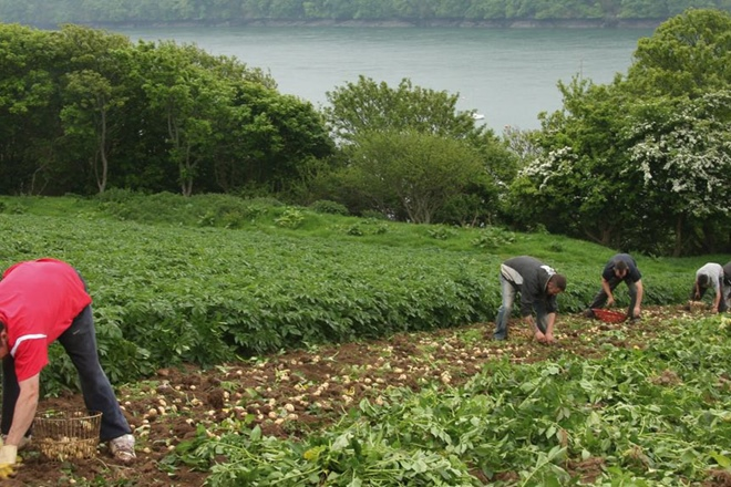 Harvesting Pembrokeshire Early Potatoes