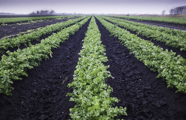 Rows of celery