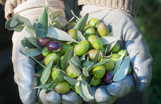 Italy's top ten PDO-protected olive oils