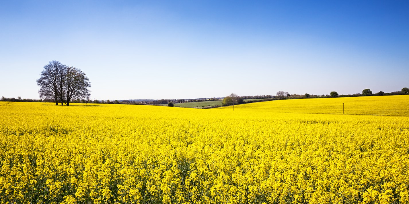 Rapeseed oil: why make the switch?