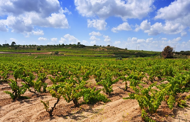 Catalonia vineyard