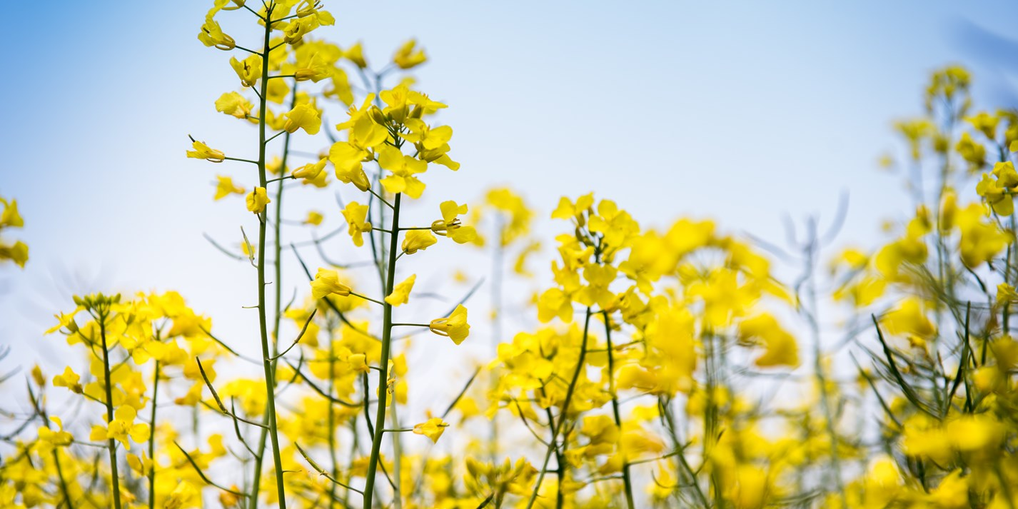 In pictures: the rapeseed oil harvest